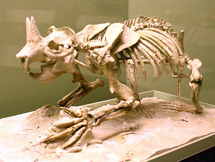The horned gopher Ceratogaulus hatcheri, a burrowing mammal of the late Miocene to early Pleistocene, is the only known horned rodent. Ceratogaulus hatcheri NMNH.jpg