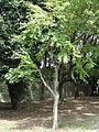 Cercidiphyllum japonicum - Nagai Botanical Garden - DSC07632.JPG