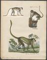 Cercopithecus sabaeus - 1700-1880 - Print - Iconographia Zoologica - Special Collections University of Amsterdam - UBA01 IZ19900086.tif