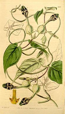 Ceropegia oculata Curtis Botanical Magazine Vol.70 Tab.4093.jpg