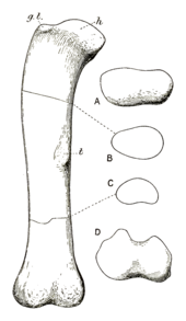 Drawing of a large limb bone