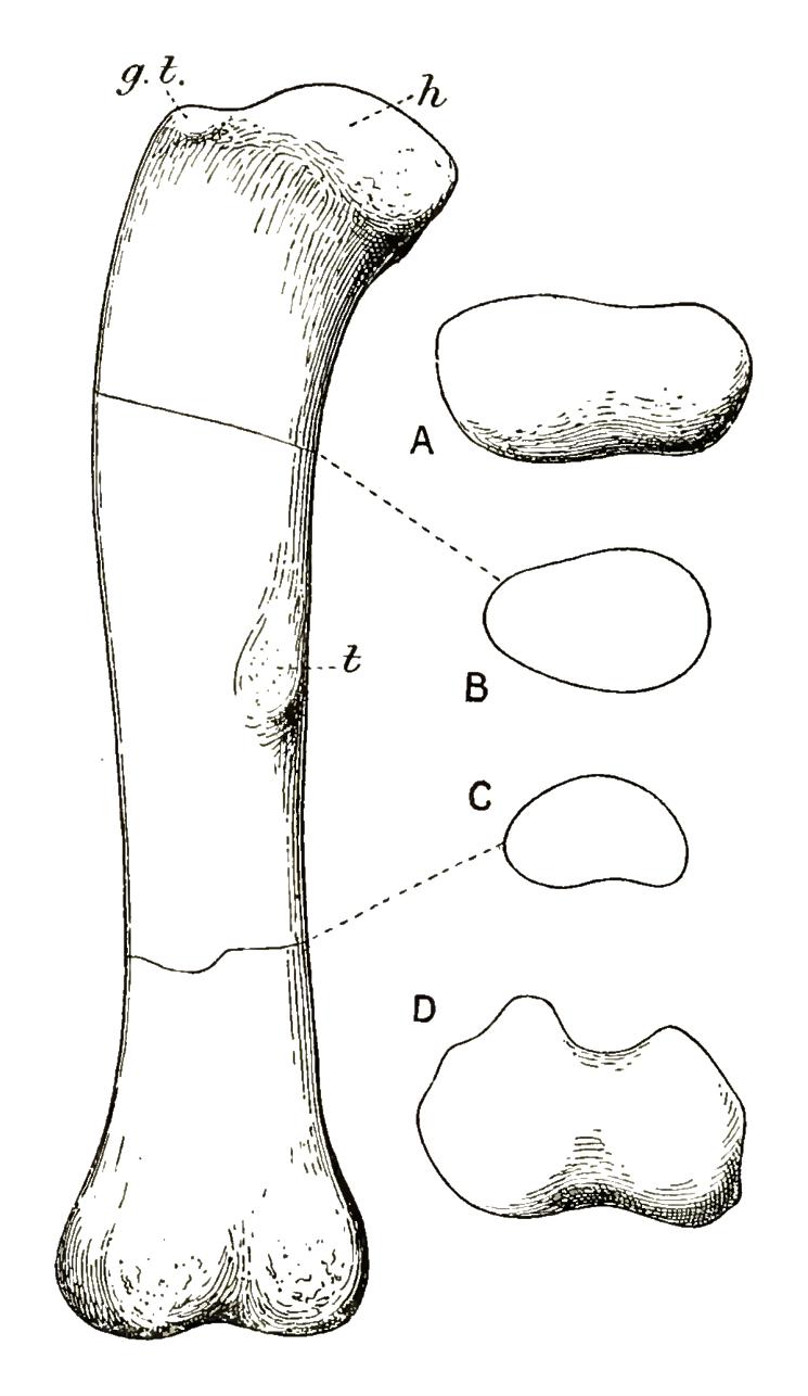 Cetiosauriscus femur