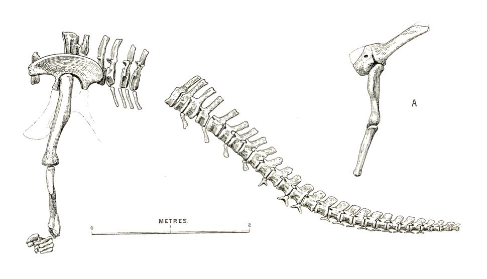 Cetiosauriscus skeleton drawing