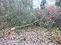 Chêne abattu par des castors 02.JPG