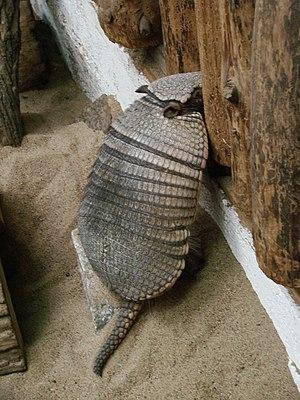 Big hairy armadillo - Image: Chaetophractus villosus (Wroclaw zoo)