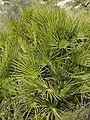 Chamaerops humilis (plants).jpg