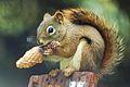 Charles, King of the Pine Squirrels.JPG
