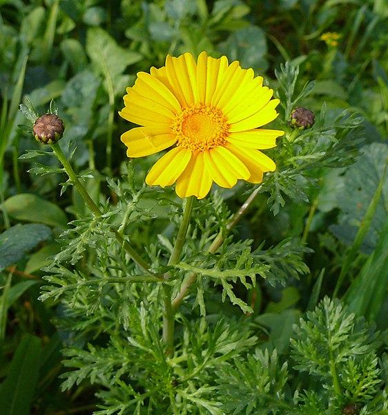 glebionis coronaria  crown daisy   chrysanthemum coronarium