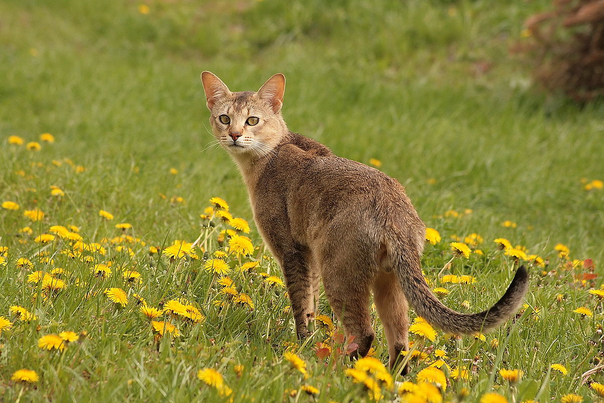 What Are The Different Breeds Of Cats