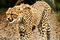 Cheetah - Whipsnade Zoo (10803161653).jpg