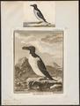 Chenalopex torda - 1700-1880 - Print - Iconographia Zoologica - Special Collections University of Amsterdam - UBA01 IZ17800179.tif