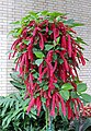 Chenille plant Acalypha hispida IMG 0169.jpg