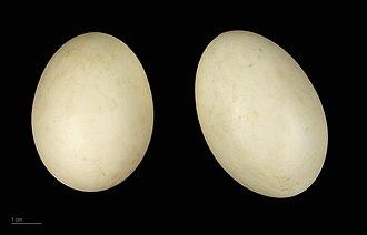 Australian wood duck - Chenonetta jubata - MHNT