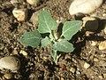 Chenopodium opulifolium sl90.jpg