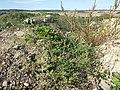 Chenopodium vulvaria sl112.jpg