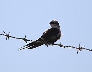 White-backed swallow - Sitting white-backed swallow