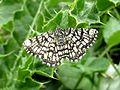 Chiasmia clathrata (Latticed Heath), Elst (Gld), the Netherlands.jpg