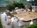 File:Chilean Flamingo.ogv