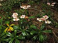 Chimaphila umbellata (Japan)-4.JPG