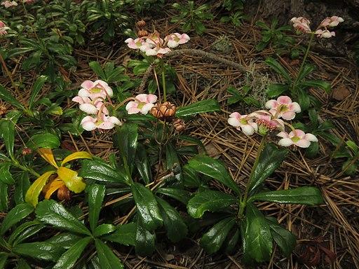 Chimaphila umbellata (Japan)-4