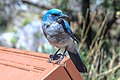 Chiricahua National Monument, Arizona - Mexican Jay (Aphelocoma wollweberi) (18101285765).jpg