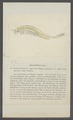 Chirocephalus diaphanus - - Print - Iconographia Zoologica - Special Collections University of Amsterdam - UBAINV0274 099 02 0007.tif