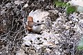 Chivirín barranqueño - panoramio.jpg