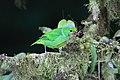 Chlorophonia callophrys 03.jpg