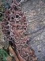 Chondrostereum purpureum 58150485.jpg