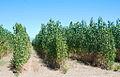 Chopos para biomasa.JPG