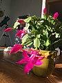 Christmas cactus 2.jpg
