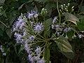 Chromolaena odorata (2112896548).jpg