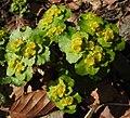 Chrysosplenium alternifolium 2 RF.jpg