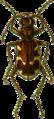 Cicindela hybrida Jacobson.png