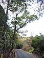 Cinnamomum camplora - Miyajima Natural Botanical Garden - DSC02343.JPG