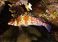 Cirrhitichthys oxycephalus Pixie Hawkfish by Nick Hobgood.jpg