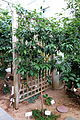 Citrus japonica (Fortunella margarita) - C. Fred Edwards Conservatory - Huntington Museum of Art - DSC05544.JPG