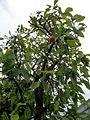 Citrus maxima.jpg