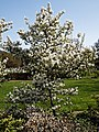 City of London Cemetery and Crematorium - Café white blossom.jpg