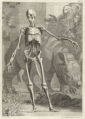 Charles Grignion the Elder - Engraving of Clara and a human skeleton for Tabulae sceleti et musculorum corporis humani, drawn by Jan Wandelaar, engraved by Charles Grignion the Elder, 1749.