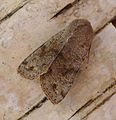Clouded Drab. Orthosia incerta. - Flickr - gailhampshire.jpg