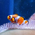 Clown fish in biology department - panoramio.jpg