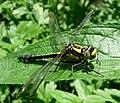 Club-tailed Dragonfly (Gomphus vulgatissimus) - geograph.org.uk - 177667.jpg