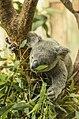 Coala Bear In Zoo (174217065).jpeg