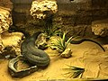 Cobra escupidora(Naja Nigricollis).jpg