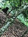 Cocoa tree 003.jpg