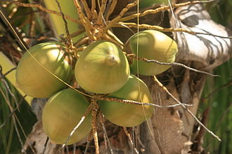Bantayan Island -  Coconuts on the palm