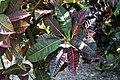 Codiaeum variegatum 17zz.jpg