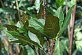 Codiaeum variegatum 50zz.jpg