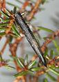 Coleophora pyrrhulipennella, Cwm LLechen, North Wales, April 2011 (19282699078).jpg